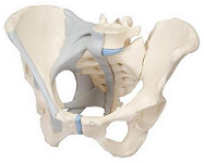Female-Pelvis-with-Ligaments