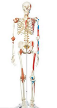Skelton-Model-with-Muscles-and-Ligaments